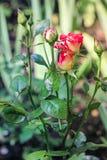 Bush med röd-guling knoppar av rosor Royaltyfri Foto