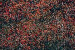 Bush med röda bär royaltyfria bilder