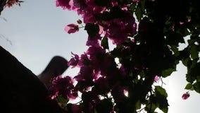 Bush med rosa blommor som solen skiner på på en sommardag lager videofilmer