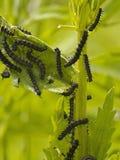 Bush med seten av svarta caterpillars Royaltyfri Fotografi