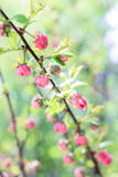 Bush med små rosa blommor Royaltyfri Bild