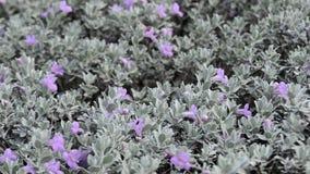 Bush met bloeiende purpere bloemen stock video