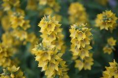 Bush met gele bloemenclose-up stock foto