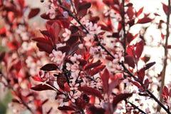 Bush met rode bladeren en roze bloemen stock afbeeldingen