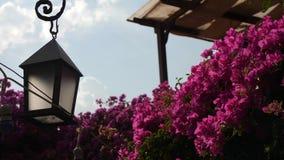 Bush met roze bloemen waarop de zon op een de zomerdag glanst stock video