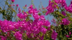 Bush met roze bloemen waarop de zon op een de zomerdag glanst stock videobeelden