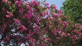 Bush met roze bloemen waarop de zon op een de zomerdag glanst stock footage