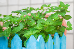 Bush of mint in a wooden flowerpot Royalty Free Stock Photography