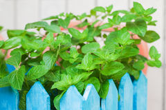 Bush of mint in a wooden flowerpot Stock Photo