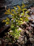 Bush minuscolo che cresce attraverso Rocky Path immagini stock libere da diritti
