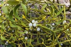 Bush of mistletoe Stock Photography