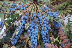Bush mit blauen Beeren Stockfotografie