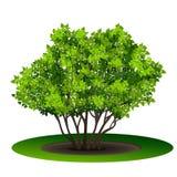 Bush mit Grünblättern und -schatten Stockfoto