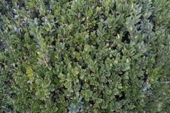 Bush mit kleinen Blättern in einer Hecke lizenzfreie stockfotos