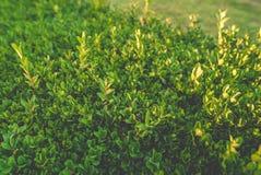 Bush mit kleinen Blättern in einer Hecke stockfoto