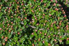 Bush mit kleinen roten Blumen beleuchtete durch die Sonne Lizenzfreie Stockfotografie