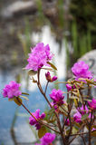 Bush mit purpurroten Blumen Stockfotos