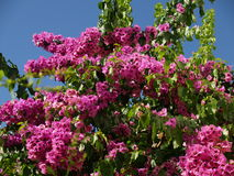 Bush mit rosafarbenen Blumen Stockfotografie