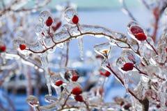 Bush mit roten Beeren im Eis Stockfoto