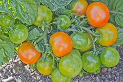 Bush mit Tomaten stockbild
