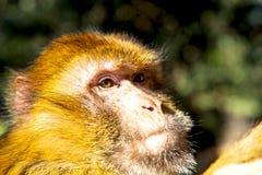 Bush monkey  africa morocco  fauna close up Stock Image