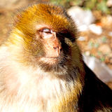 Bush monkey in africa morocco and natural background fauna close Stock Photos