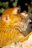 Bush monkey in africa morocco  natural Royalty Free Stock Photo