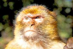 Bush monkey in africa morocco and Stock Image