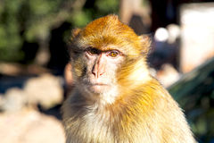 Bush monkey  background fauna close up Royalty Free Stock Photos
