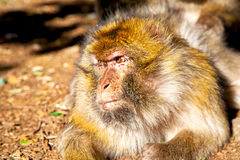 Bush monkey in  fauna close up. Old monkey in africa morocco and natural background fauna    close up Stock Images