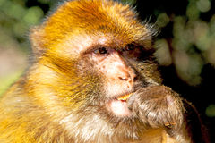 Bush monkey in   morocco and fauna close up. Old monkey in africa morocco and natural background fauna    close up Stock Photos