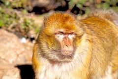Bush monkey in   morocco  fauna close up Stock Photos