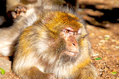 Bush monkey  and natural background fauna Royalty Free Stock Photography