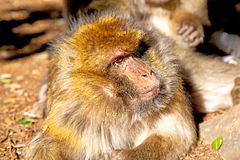 Bush   morocco  background fauna close up. Old monkey in africa morocco and natural background fauna    close up Stock Image