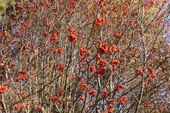 Bush of a mountain ash Royalty Free Stock Photos