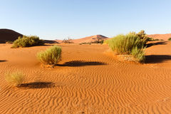 Bush in the Namib Desert Royalty Free Stock Photo