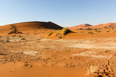 Bush in the Namib Desert Royalty Free Stock Photography