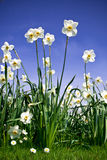 Bush of Narcissus Royalty Free Stock Images