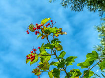 Red berries against a blue sky background Royalty Free Stock Images