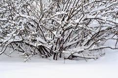 Bush nella neve Immagine Stock