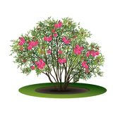 Bush nerium oleander with pink flowers. And shadow on white background Stock Photo