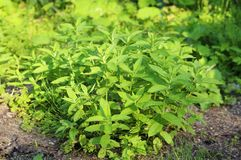Bush nettle grows in nature. Medical useful plant. Nettle for salad stock image