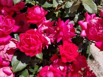 Bush od red roses royalty free stock images