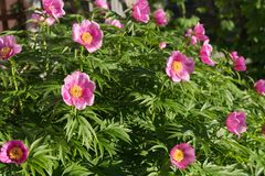Bush Of A Wild Pink Simple Peony Of Maryin Root Lat. Paeonia Anomala Blooms In The Garden Stock Photos