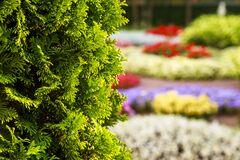 Free Bush Of Arborvitae Leaves In The Blurred Background Of Colorful Beds Of Flowers. Decorative Thuja Tree In The Garden. Shallow Stock Photography - 187694962