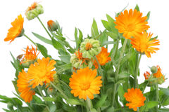 Bush Of Calendula Flowers Stock Photography