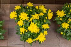 Free Bush Of Yellow Chrysanthemums Blossom In A Flower Pot, Top View. Romantic Bouquet Of Blooming Golden Chrysanthemums, Natural Fresh Royalty Free Stock Image - 175129276