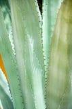 Bush og agawa Zdjęcie Stock