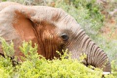 Bush-Olifant die enkel boven de struiken gluren Stock Afbeelding