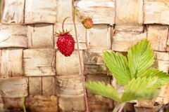 Bush with one strawberry on stem. Wood birch bark background Stock Images